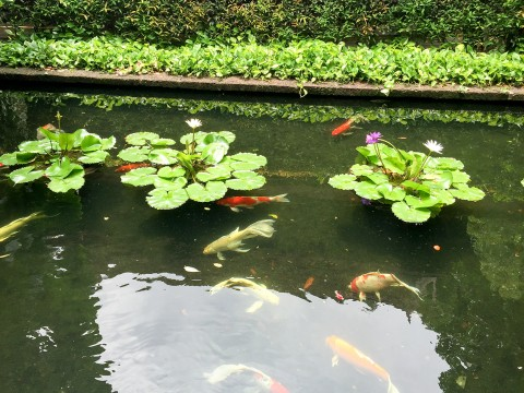 Koi Fish Pond at Jim Thompson House | Life's Tidbits