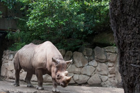 Ueno Zoo Rhino in Tokyo, Japan