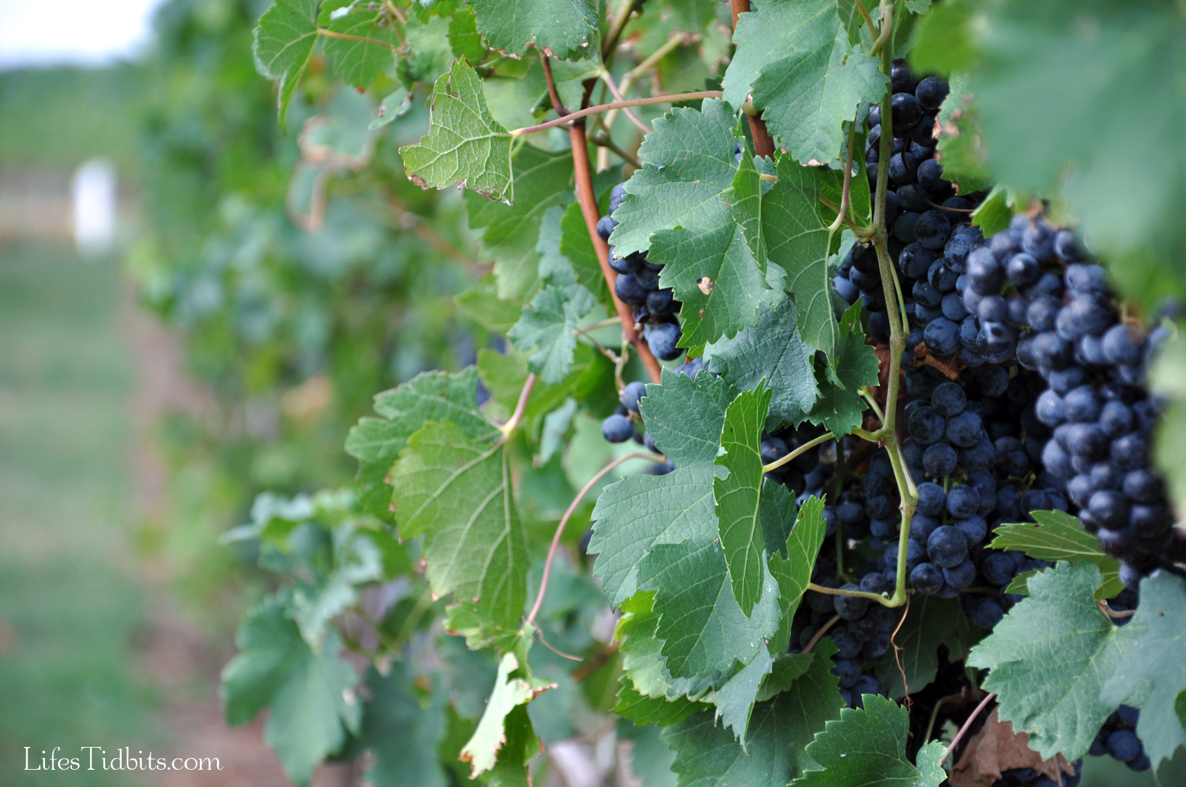 winevineyard_grapes